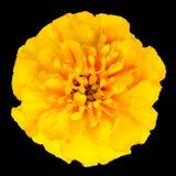 在黑背景隔绝的黄色万寿菊花 免版税库存图片