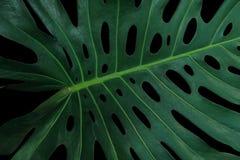 在黑背景, Monstera philod的热带绿色叶子样式 库存照片