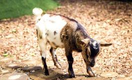 在黑色、褐色和白色的一只小的山羊 免版税库存照片