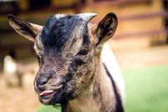 在黑色、褐色和白色的一只小的山羊 免版税库存图片