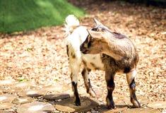 在黑色、褐色和白色的一只小的山羊 免版税图库摄影
