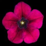 在黑色查出的紫色牵牛花花 免版税库存照片