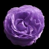 在黑色的丁香玫瑰色花隔绝了与裁减路线的背景 没有影子 特写镜头 库存图片