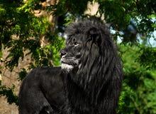 在黑色的公狮子 免版税库存图片