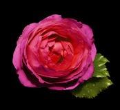 在黑色的桃红色红色花玫瑰隔绝了与裁减路线的背景没有阴影 绿色叶子上升了 对设计 C 免版税库存图片