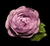 在黑色的桃红色花玫瑰隔绝了与裁减路线的背景没有阴影 绿色叶子上升了 对设计 clos 图库摄影
