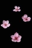 在黑色的樱桃花 免版税库存图片