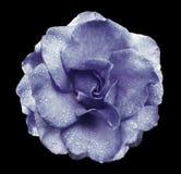 在黑色的紫罗兰玫瑰色花隔绝了与裁减路线的背景没有阴影 有水滴的罗斯在瓣的 clos 免版税库存图片