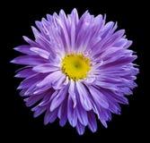 在黑色的紫罗兰色翠菊花隔绝了与裁减路线的背景 为设计,纹理,明信片,封皮开花 特写镜头 免版税库存图片