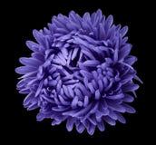 在黑色的紫罗兰色翠菊花隔绝了与裁减路线的背景 为设计,纹理,明信片,封皮开花 特写镜头 库存图片