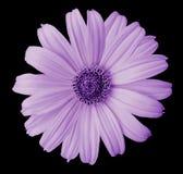 在黑色的紫罗兰色雏菊花隔绝了与裁减路线的背景 为设计,纹理,明信片,封皮开花 特写镜头 库存图片