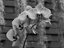 在黑色的紫色镶边兰花 库存照片