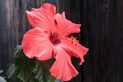 在黑色的红色开花的花 免版税图库摄影