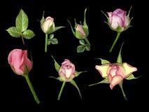 在黑色的集合桃红色白的玫瑰隔绝了与裁减路线的背景 没有影子 一朵玫瑰的芽在茎的与绿色叶子 免版税库存照片