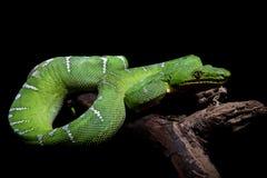 在黑色的鲜绿色树蟒蛇 图库摄影
