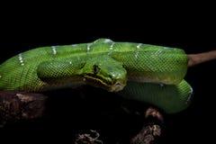 在黑色的鲜绿色树蟒蛇 库存照片