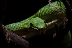 在黑色的鲜绿色树蟒蛇 免版税库存图片