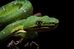 在黑色的鲜绿色树蟒蛇 免版税库存照片