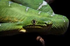 在黑色的鲜绿色树蟒蛇 库存图片