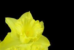 在黑色的黄水仙 图库摄影