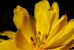 在黑色的黄色郁金香 库存照片