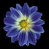 在黑色的黑暗的-蓝色-黄色花雏菊隔绝了与裁减路线的背景 特写镜头 图库摄影