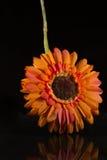 在黑色背景和反映的一朵花 免版税库存图片