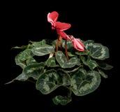 在黑色背景的开花的桃红色仙客来 免版税库存图片