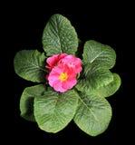在黑色背景的开花的桃红色樱草属 免版税库存图片