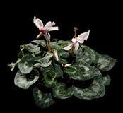 在黑色背景的开花的空白仙客来 免版税图库摄影