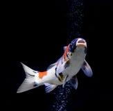 在黑色背景的鲤鱼鱼 库存照片