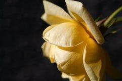 在黑色背景的黄色花 库存照片