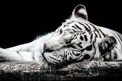 在黑色隔绝的一只白色老虎的画象 库存图片