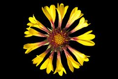 在黑色隔绝的天人菊属植物pulchella红黄色花 库存例证