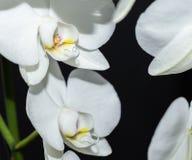 在黑色隔绝的美丽的白色兰花13 库存照片