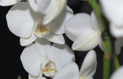 在黑色10的美丽的白色兰花 免版税库存照片
