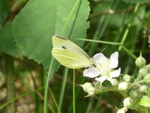 在黑莓灌木的开花的黄色brimtone蝴蝶 免版税库存图片