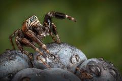 在黑莓的跳跃的蜘蛛在深绿背景中 库存照片