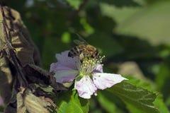在黑莓花的蜂 免版税库存图片