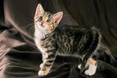 在黑褐色毯子的常设五颜六色的小猫 免版税库存照片