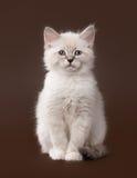 在黑褐色的小的西伯利亚小猫 图库摄影