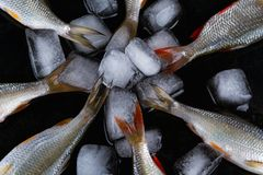 在黑金属背景的Frash未加工的河鱼与冰 库存图片