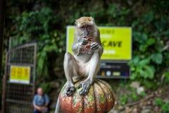 在黑风洞附近的一只猴子在吉隆坡 免版税库存照片