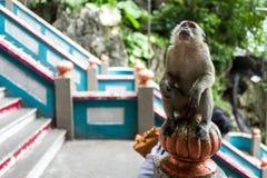 在黑风洞附近的一只猴子在吉隆坡 库存照片