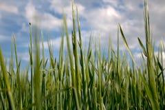 在黑麦的底视图 库存照片