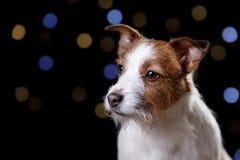 在黑background.illustration的狗 插孔罗素狗 库存照片