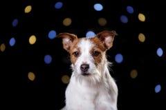 在黑background.illustration的狗 插孔罗素狗 图库摄影