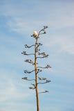 在龙舌兰花的海鸥 免版税库存照片