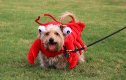 在龙虾服装的狗 免版税库存照片
