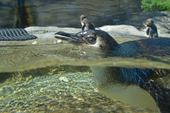 在水上下的小的企鹅身体,当更游泳与两在背景中时 库存照片